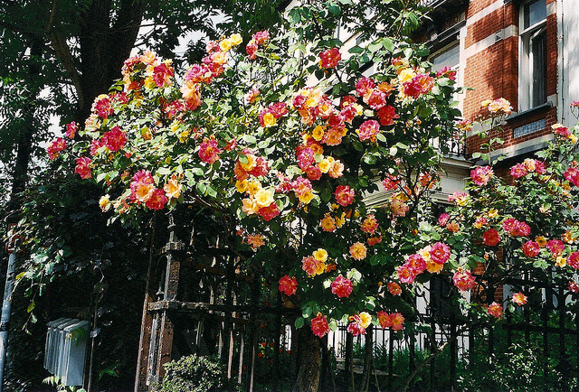 | ♕ |  fence of roses  | by © Fanny.rose