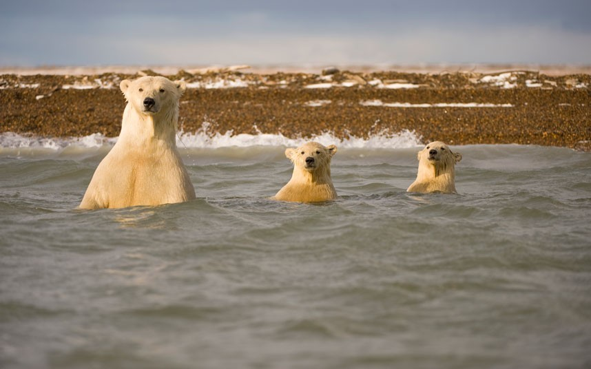"""Goldilocks?"" (Photo of a polar bear swimming with its cubs in Bernard Spit, Alaska by Steven Kazlowski / Barcroft Media via The Telegraph)"