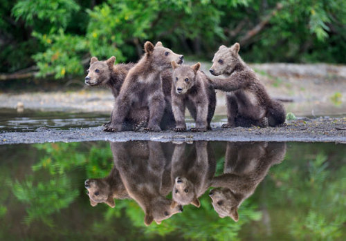 beautiful-wildlife:  Eight Bear Cubs