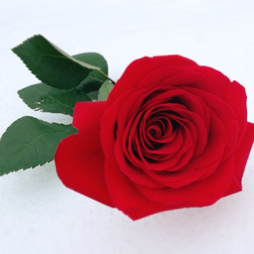 A good #morning #rose for you! #Smooch! #love #snow #flower #red #romance #winter #mydaughtersrose