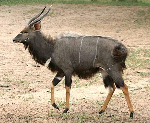 bronzebasilisk:  mrpunchinello:  pettyartist:  deermary:  nyala bulls  holy cow, it's got a mohawk shaped like a buzzsaw  oh hello this is now a favorite animal of mine  Aaaa fuckin Nyalas <333 My old sona was actually partially based off of one of these guys, easily one of if not my favorite ungulate