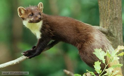 "One of Scotland's rarest carnivores, the pine marten, is showing signs of recovery after years of declining populations, a new report has suggested.  A joint survey by Scottish Natural Heritage (SNH) and the Vincent Wildlife Trust (VWT) has found the number of pine marten appears to be growing. The mammal is said to be ""established"" in Caithness, Moray, Perth and Kinross, Aberdeenshire, Angus and Fife. However, it is now being spotted in southern Argyll and Stirlingshire. The pine marten was once found throughout Britain, but the species suffered heavily during the 19th century. By the turn of the 20th century, the animal was limited to North West Scotland, where the species survived in areas of remote forest and rocky moorland. SNH estimates there are now about 2,600 to 3,500 adult martens in Scotland. Read more."