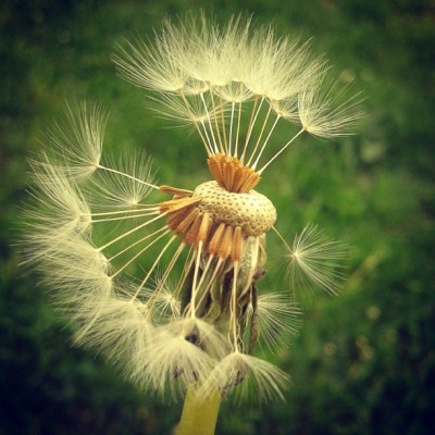 Every child love #dandelions ! #macro #xpro #green #love #nature #igdaily #igers #instagood #instagreat #instamood #instalike #bestoftheday #photooftheday #picoftheday #webstagram #instalove #followme #tbt #summer #beautiful #happy #nice #cute