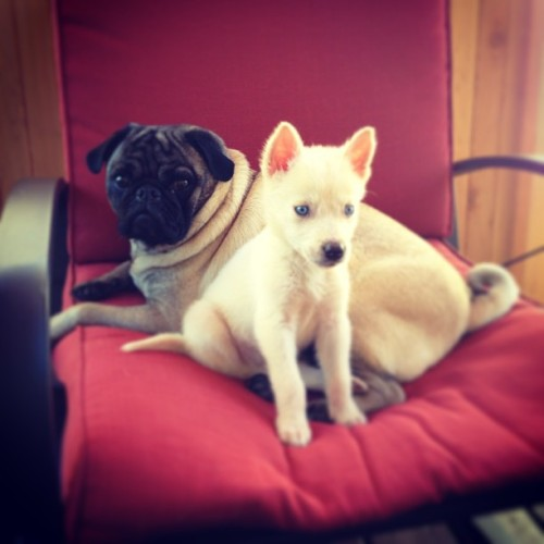 #yoda my #pug and #leia the #husky #princess! #cuddlebuddies #aw #pets #puppy #dog #igers