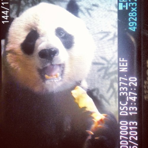 Oh hai! #panda #national #zoo