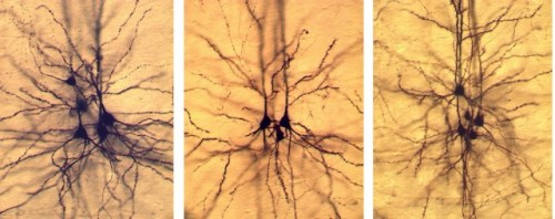 Rewiring the Brain: Gene Therapy Makes Mature Neurons Change Type   The cerebral cortex—the gray matter that forms the outer layers of the mammalian cerebrum and cerebellum—is divided into six different layers based on the presence of specialized neurons… Denis Jabaudon is interested in using the tools of modern biology to understand the genetic mechanisms that establish and maintain those layers. Over the past few years, his lab has published papers implicating various genes in the generation of specific neuronal subtypes. Now they have gone a step further. They have developed a new electrochemical method to transfer genes into specific types of neurons—they call it iontoporation. Using it, they have transformed one type of neuron in a mature brain into a different type entirely… [This research] tells us something about the ability of a mature brain to adapt to being rewired. Although Jabaudon and others have made some headway in working out how the different neurons arise, they still don't know how plastic they are—if they can change fates after they started differentiating down one particular path. In the context of brain injury, it would be useful to know if certain neural circuits could be reprogrammed and repaired by having the neurons that are already present change fates to adapt to the damage. But this has been challenging to determine, because changing the fate of specific neurons in the latter stages of differentiation has been technically difficult.  (via Reshaping the brain: scientists reprogram neurons after birth | Ars Technica)