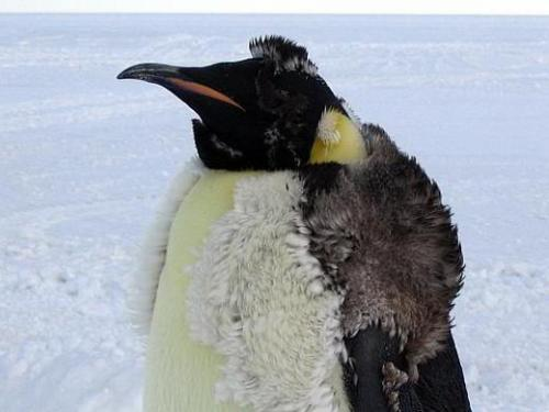 A molting Emperor Penguin. Emperor penguins are the largest of all penguins, standing up to 42 inches (115 centimeters) tall and weighing 84 pounds (38 kilograms). They are majestic birds, walking with stately purpose at speeds of around 5 mph (7.5 kmh). Emperors can dive as deep as 1,800 feet (550 meters) on a single breath of air, lasting up to 20 minutes. Emperor penguins are rarely found north of the Antarctic Circle.  Also, it looks like he's wearing a fur vest. This pleases me.