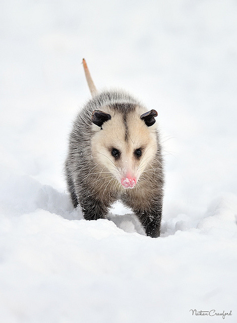 howtoskinatiger:  Virginia Opossum by All Things Winged and Wonderful Photography on Flickr.