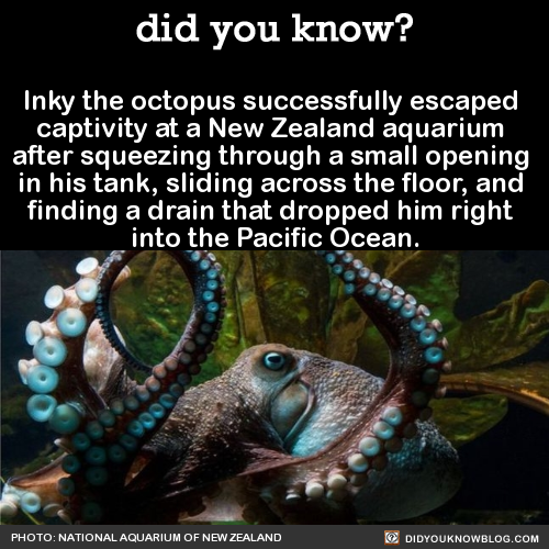 Inky the octopus successfully escaped captivity at a New Zealand aquarium after squeezing through a small opening in his tank, sliding across the floor, and finding a drain that dropped him right into the Pacific Ocean. Source