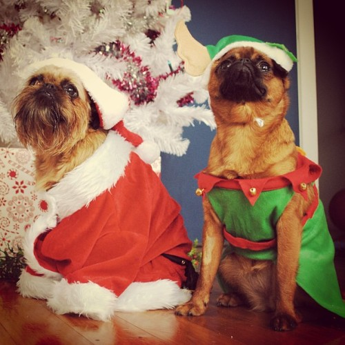 Dora visits Digby Claus for the Holidays @dorathegriffon stopped by to wish us a Merry Bacon time. She ate all our bacon, stole Digby's bed and terrorised the house. #thedigbydaysofchristmas - @digbyvanwinkle- #webstagram