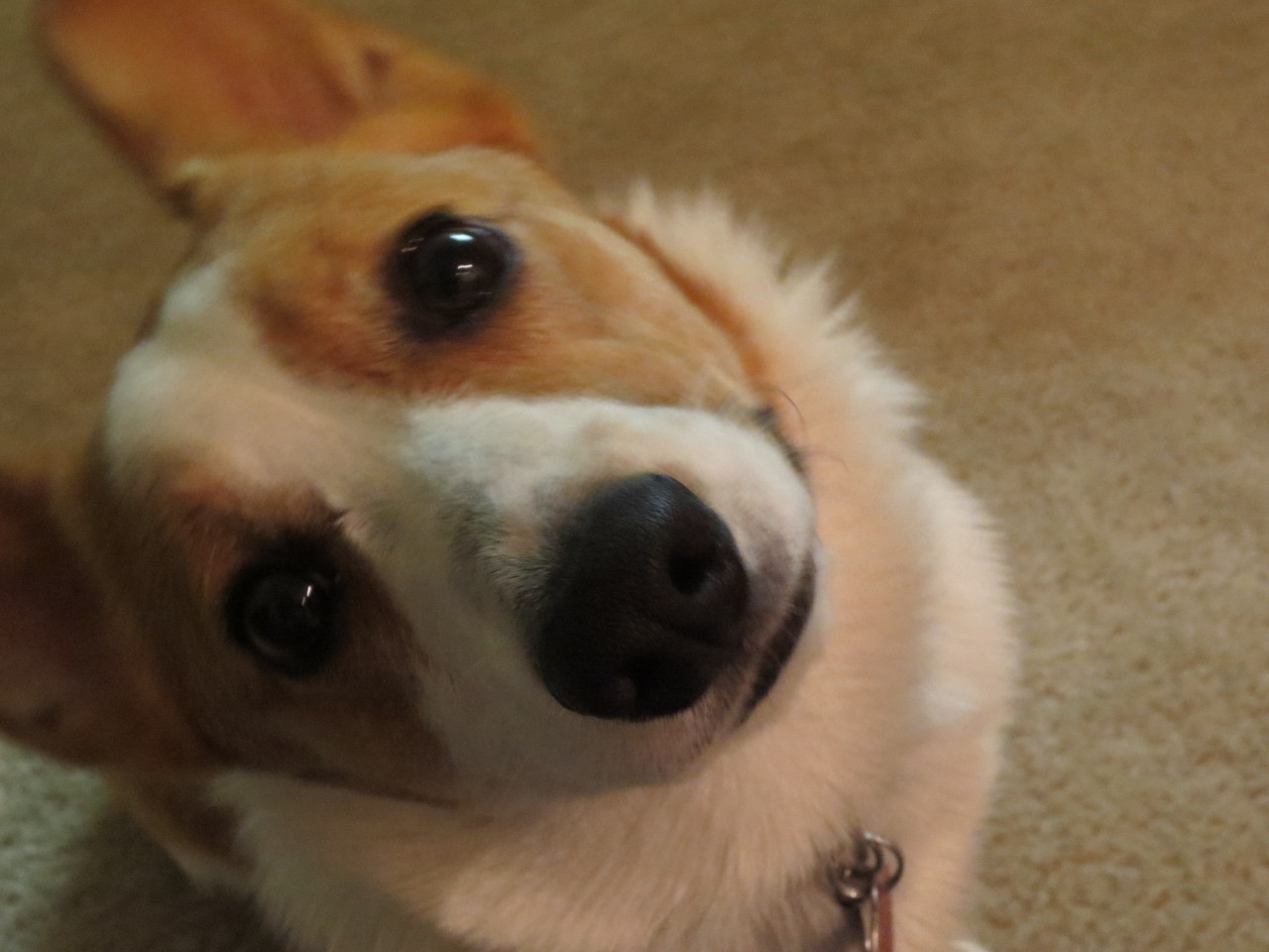 Tumblrs, I give you…. the corgi head tilt