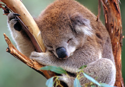 dr-beakman:  Sleeping Koala (by Warwick Sloss via one big photo)