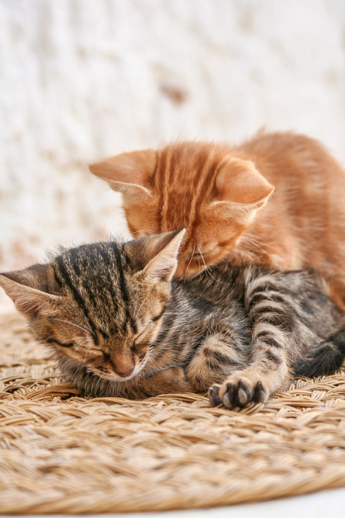 "magicalnaturetour:   ""Berber kittens"" by Nico Verkest ~ Sweet Dreams beautiful friends ♥"