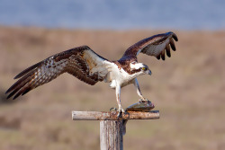 thepredatorblog:  Osprey (by Bill7870)