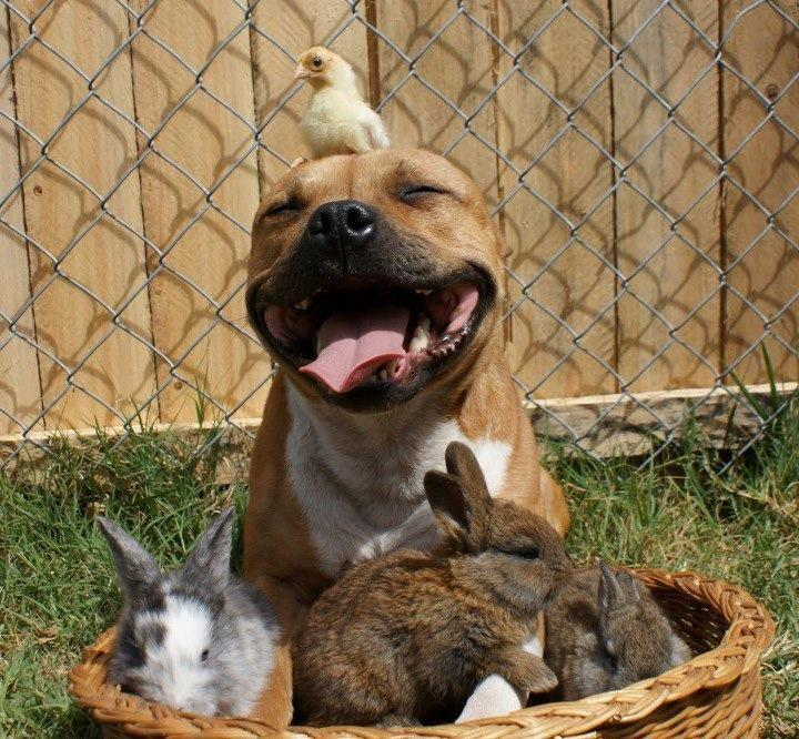 Just a typical Pit Bull violently and aggressively snuggling with bunnies and chicks. Photo via Imgur
