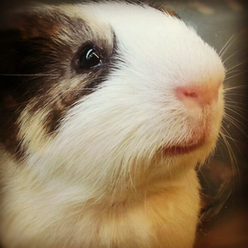 I LOVE dogs, but other critters are also pretty sweet :) #guineapig  cheapme: A very distinguished guinea pig