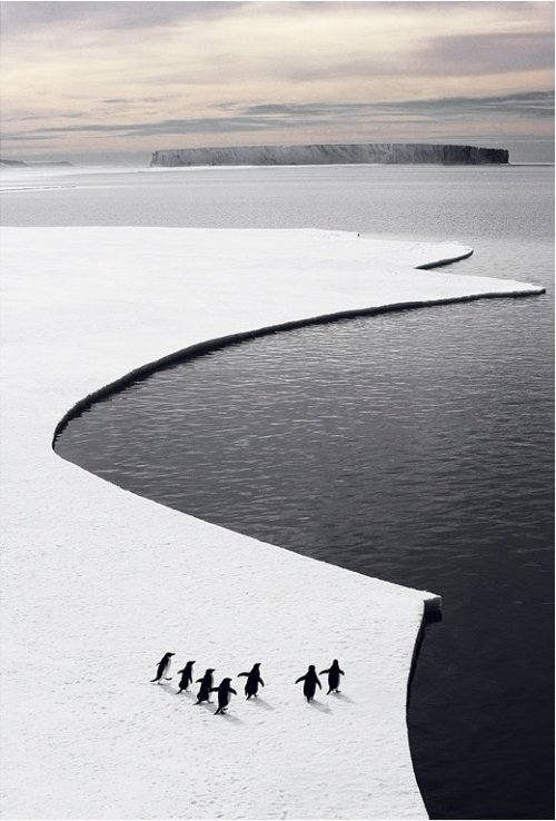 unwrittennature:  penguins ice croppedBy ASOC Pictures☆