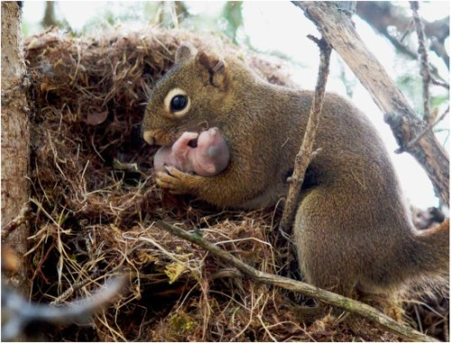 The picture shows a female red squirrel adopting an orphan baby from an abandoned nest. Although squirrels rarely interact, they learn who their nearby relatives are by hearing their unique calls. If they fail to hear a relative's calls for a few days, they may investigate and rescue orphans.