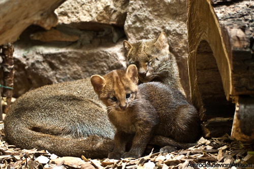 llbwwb:   Jaguarundi Cub and its Mother by =amrodel.