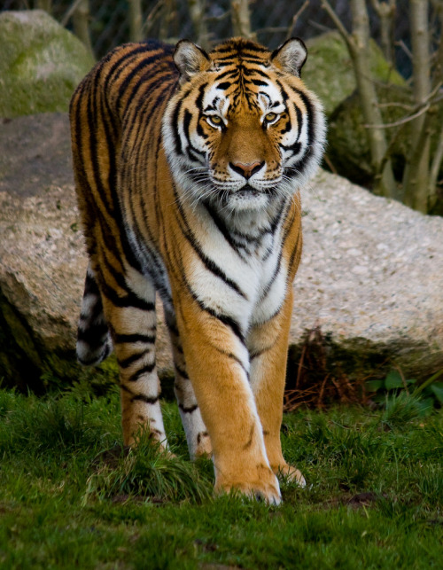 Tiger_10 by pjwebster