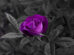 Purple Rose (Blank Background) on Flickr.