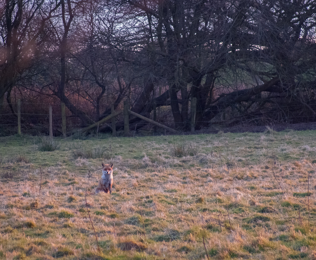 Photo 365 2013 Day 58: Fox in the Field
