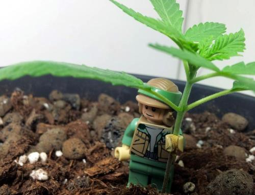 your-pot-blog:  A small rebel presence:)  click for ze weed