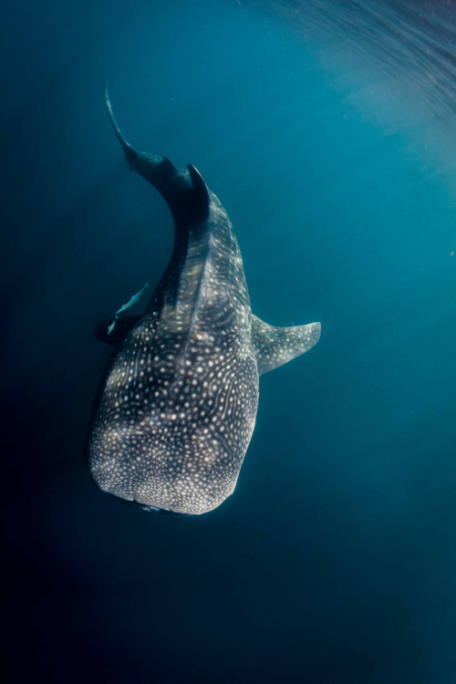 h4ilstorm:  majestic shark (by Paul Cowell)