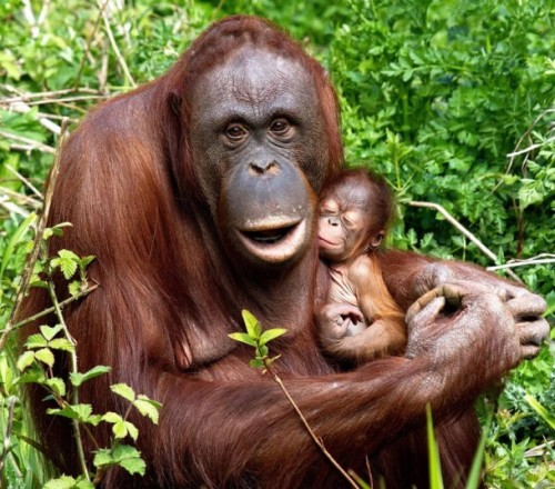 theanimalblog:  A baby orangutan has been born at the zoo in Paignton, Devon which keepers believe to be a girl.  Picture: R. Wiltshire/Paignton Zoo/Solent News