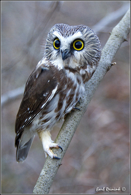 Saw Whet Owl by Earl Reinink on Flickr.