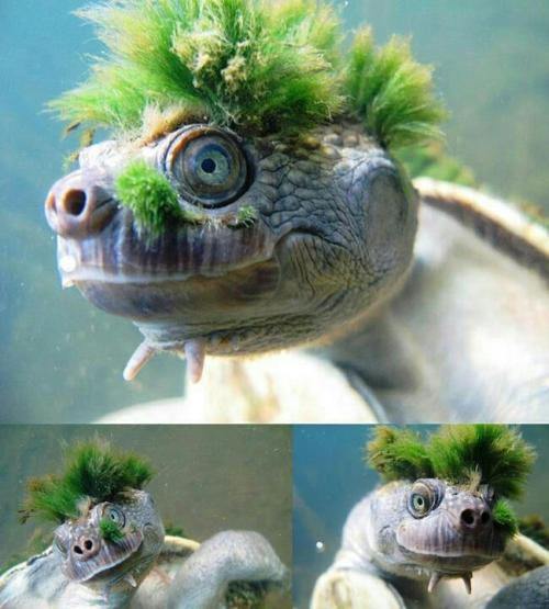 scienceyoucanlove:   This is the Mary River turtle (Elusor macrurus), and its green mohawk is made up of algae. This often covers the shell as well as the head, and helps to camouflage the animal.  Is this symbiosis? If so, should we consider this turtle as being part-algea? (Though I guess we're then largely bacteria, considering how much we have 10x as many bacterial cells inside us than human cells!) Also, this photo is awesome.