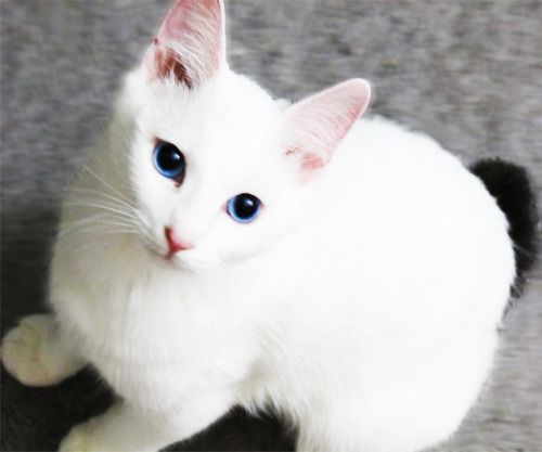 Sorashi my beautiful Japanese bobtail kitty<3 I love him so much~