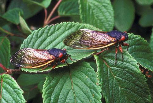 "rhamphotheca:  Cicadas' Cycles Control Their Predators by Virginia Morell Periodical cicadas have such a strange life cycle that some have argued they can count, and have a particular affinity for prime numbers. That's because their broods emerge after lengthy periods of time; in North America, they appear en masse from underground every 13 or 17 years. Now, two researchers argue that the cicadas' cycles are timed to ""engineer"" the numbers of a mortal enemy—predatory birds. Contrary to what one might expect, these birds' populations drop significantly the year cicadas emerge in all their buzzing glory, the scientists report in the current issue of The American Naturalist… (read more: Science NOW)              (photo: ARS/USDA)"