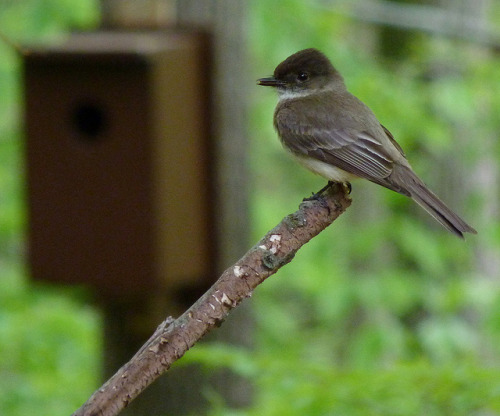 son-pereda:  dendroica:  Eastern Phoebe on Flickr.  ツキヒメハエトリ 月姫蠅取。