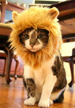 animeows:  Lion Hats for Cats