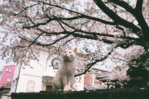 cybergata:  SAKURA by nekojimakeibu on Flickr.