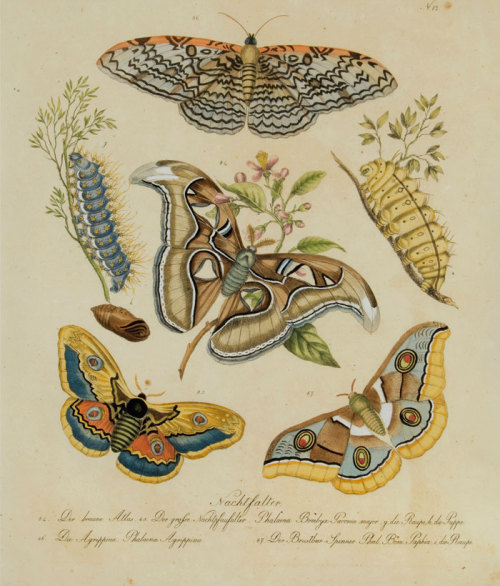 heaveninawildflower:  Moths, caterpillars and pupa (1824) by Karl Brodtmann. Taken from Naturhistorische Bilder Gallerie aus dem Theirreiche (Natural History Picture Gallery of the Animal Kingdom). theantiquarium.com