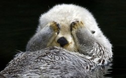 A shy sea otter hides from the camera while it grooms itself Picture: TOM AND PAT LEESON / ARDEA / CATERS NEWS