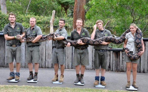 "How do you weigh a 21-foot-long python? Australian zookeepers weigh ""Atomic Betty."" (Photo: Australian Reptile Park via EPA) Zookeepers at the Australian Reptile Park stand on scales as they weigh a 21-foot-long python named Atomic Betty, on Jan 9. Reports state that the 14-year-old python weighed in at over 304 pounds."
