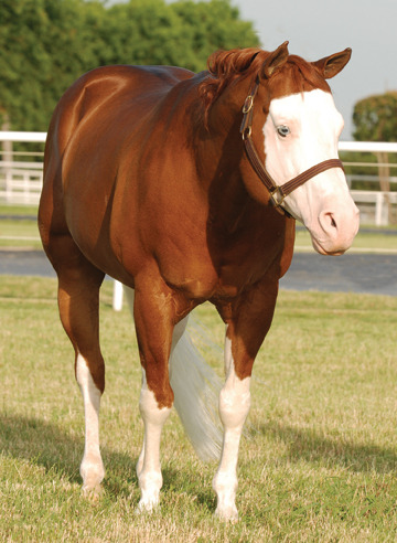 "1993 AQHA/APHA/NRHA Sorrel Stallion Colonels Smoking Gun ""Gunner"" (AQHA#4472679/APHA#271197) Colonelfourfreckle x Katie Gun NRHA Hall of Famer and Four Million Dollar Sire"