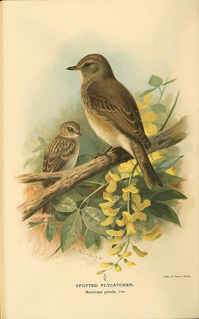 jomobimo:  Spotted Flycatcher, Coloured Figures of the Birds of the British Islands / issued by Lord Lilford, 1885-1897