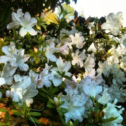One of the best, and worst, parts of #tallahassee in the #spring. #azaleas #allergies #flowers #florida #nofilter