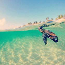 ching4short:  turtle | via Facebook on @weheartit.com - http://whrt.it/11Vo8bA