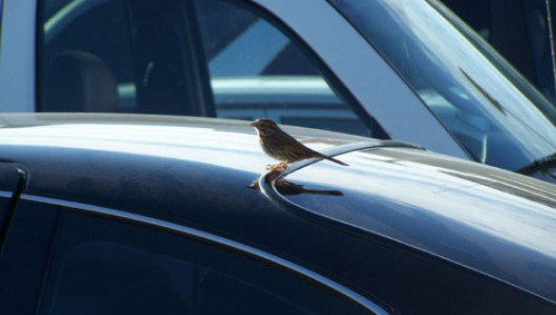 Are birds evolving to avoid becoming roadkill? New research suggests that birds are evolving new traits or learning behaviors to avoid getting hit by cars.