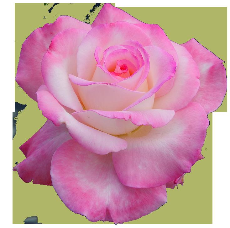 "The Discography, transparent-flowers: ""Secret"" Hybrid Tea ...  Tumblr Flowers Transparent"