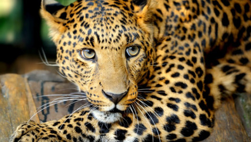 How leopards and humans peacefully coexist in India Scientists have discovered that a group of both leopards and humans are able to live alongside each other peacefully in an area of western India