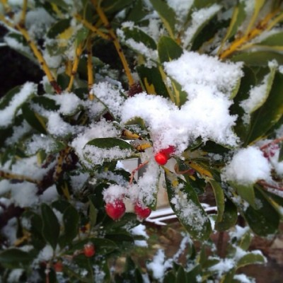 Resilient & Rebellious berries #red #resilience #rebel #snow