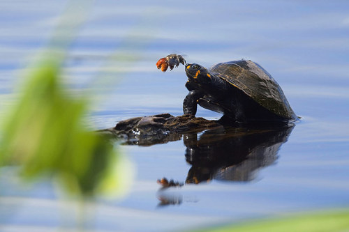 A solitary bee drinks the tears from a yellow-spotted river turtle in Yasuní national park, Ecuador. The endangered yellow-spotted river turtle cannot easily brush them away while the solitary bee needs the sodium. The unusual interaction, believed to be the first time seen between these two animals, was captured by Dr Oliver Dangles  I still don't know what to make of insects that drink turtle tears.