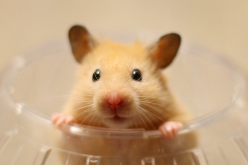 "Hamster Uses Vine App to Make Creative Videos A hamster named Snowball has been messing with Twitter's new video app called Vine, with impressive results. ""He's made a few videos from inside his ball, inside his tubes,"" says Frank Shankman, a source familiar with the situation. ""Not sure how he fits his iPhone 5 in there with him, but it just works."" Via Long Mai."