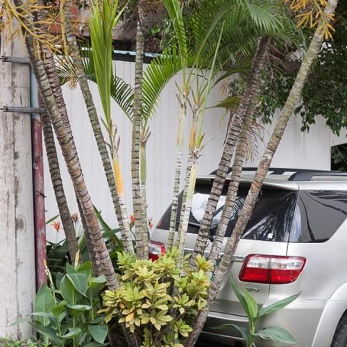 The #flowers of #panamacity. Search them, stop the car as close as possible. 🚗 #panamaciudad #vscopanama #panamagram #vsco #panamastadt #Lateinamerika #panameña #worltrip #travel #Panama #Mittelamerika #centralamerica #studyabroad #Auslandssemester #latinamerica #backpacker #wanderlust #latergram #palmtree #baumstamm #palmen #lines #car #silvercar #auto #van #voiture #4x4 (hier: Panama City, Panama)